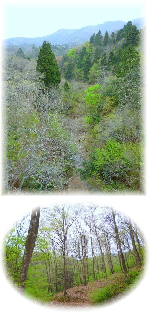 カツラ谷に架かる吊り橋から蛇谷ヶ峰と林道沿いの新緑の林